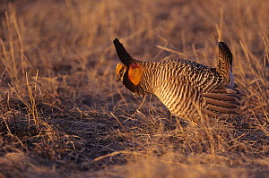 Prairie chicken (Tympanuchus cupido) male displaying, Wisconsin, USA  -  Thomas Lazar