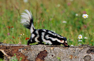Spotted skunk following trail {Spilogale putorius}  Minnesota, USA - captive - Thomas Lazar