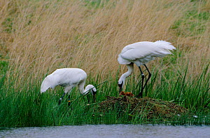 Whooping crane pair by nest with chick {Grus americanus}   Wisconsin, USA - Thomas Lazar