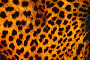 Close up of Leopard skin {Panthera pardus} Kalahari National Park, Botswana - Francois Savigny