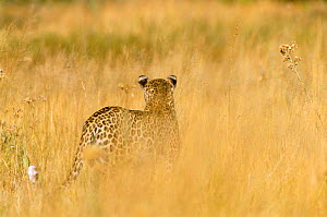 Rear view of Leopard walking in grass {Panthera pardus} Moremi National Park, Botswana - Francois Savigny