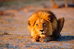 Male lion crouching on ground {Panthera leo} Southern Africa, - Francois Savigny