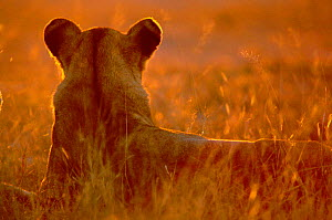 Rear view of Lioness head at sunset {Panthera leo} Southern Africa 2000 - Francois Savigny