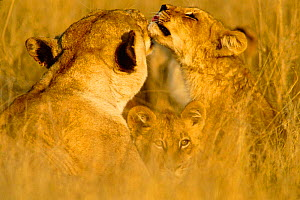 Lionesses grooming and cub {Panthera leo} Moremi NP Botswana  -  Francois Savigny