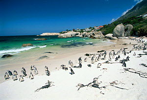 Jackass penguins {Speniscus demersus} on beach Boulders Beach, Cape Town, South Africa - Gavin Hellier