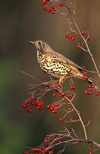 Mistle thrush {Turdus viscivorus} feeding on {Pyracantha coccinea} berries UK  -  Mike Read