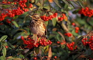 Redwing {Turdus iliacus} amongst Cotoneaster berries UK - Mike Read