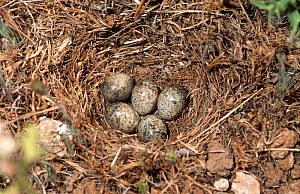 Calandra lark eggs in nest {Melanocorypha calandra} Spain  -  Jose Luis GOMEZ de FRANCISCO