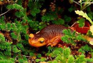 Sierra newt {Taricha torosa} Yosemite NP, California USA, North America  -  David Welling
