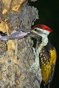 Lesser golden backed woodpecker feeding young at nest (Diponium benghalense) Ridge Forests, Delhi, India - Ashok Jain