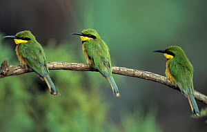 Three Little bee eaters {Merops pusillus} perched in a row, Gambia - Dietmar Nill