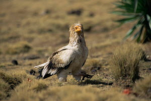 Egyptian vulture on ground {Neophron percnopterus} Simien NP, Ethiopia  -  Elio Della Ferrera