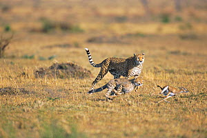 Cheetah cub hunting Thomson gazelle fawn, mother watching Masai mara NR, Kenya. seq 1/2  -  Peter Blackwell