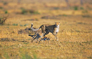 Cheetah cub hunting Thomson gazelle fawn, mother watching Masai mara NR, Kenya. seq 2/2  -  Peter Blackwell