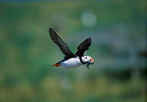Puffin in flight with sand eels in beak {Fratercula arctica} Farne Is, Northumberland, UK - David Kjaer