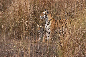 Bengal tigress with cub in grass (Panthera tigris tigris) Bandhavgah NP, Madhya Pradesh, India  -  E.A. KUTTAPAN