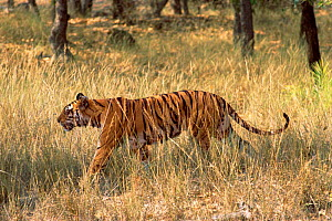 Bengal tiger walking through grass {Panthera t tigris} Bandhavgah NP, India  -  E.A. KUTTAPAN