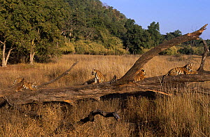 Four juvenile Bengal tigers (Panthera tigris tigris) resting on fallen tree in meadow, Bandhavgah NP, Madhya Pradesh, India  -  E.A. KUTTAPAN