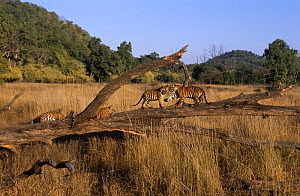 Four juvenile Bengal tigers (Panthera tigris tigris) resting and playing on fallen tree in meadow, Bandhavgah NP, Madhya Pradesh, India  -  E.A. KUTTAPAN