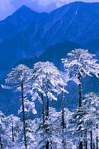 Snow covered trees in Trumsingla Pass, 12,500 feet Eastern Bhutan - Pete Oxford