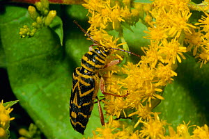 Locust borer {Megacyllene robinae} feeds on goldenrod pollen. Pennsylvania, USA - Doug Wechsler