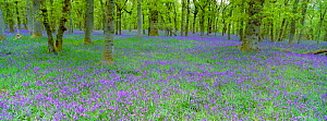 Bluebells flowering in beech wood Perthshire, Scotland, UK {Hyacinthoides non-scripta}  -  Pete Cairns