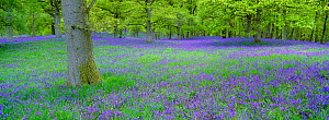 RF- Bluebells (Hyacinthoides non-scripta) flowering in beech wood. Perthshire, Scotland, UK. (This image may be licensed either as rights managed or royalty free.) - Peter Cairns