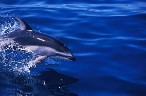 Pacific white-sided dolphin {Lagenorhynchus obliquidens} Monterey Bay, California, USA  -  Peggy Stap