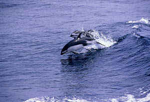 Two Pacific white-sided dolphins wake riding, CA, USA {Lagenorhynchus obliquidens}  -  Peggy Stap