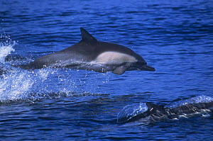 Long beaked common dolphin {Delpinus capensis} leaping, Monterey Bay, California, USA  -  Peggy Stap