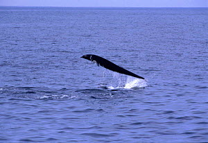 Northern right whale dolphin leaping {Lissodelphis borealis} Monterey Bay, California, USA  -  Peggy Stap