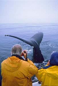 People watching Humpback whale diving {Megaptera novaeangliae} Monterey bay, California, US  -  Peggy Stap