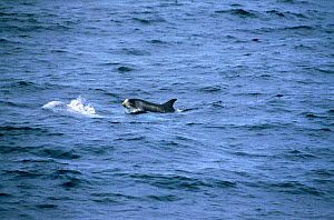Risso's dolphin calf with foetal folds {Grampus griseus} Monterey Bay, California, USA.  -  Peggy Stap