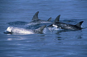Risso's dolphin family group, note colour variation {Grampus griseus} Monterey Bay, CA, USA - Peggy Stap