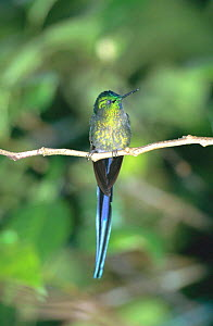Long tailed sylph male {Aglaiocercus kingi} San Isidro, Galapagos  -  Mike Read