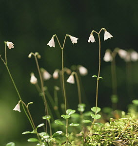 Twinflower {Linnaea borealis} in the Kilsbergen forest in June, Sweden  -  Bengt Lundberg