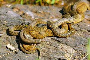 Viperine snake, two males + one female mating {Natrix maura} Spain  -  Dietmar Nill