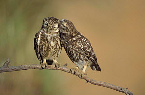 Little owls courtship {Athene noctua} Spain  -  Dietmar Nill