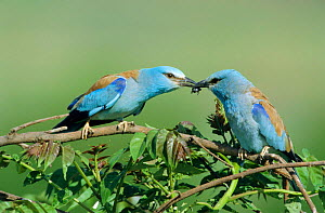 Common roller courtship, male (on rightt) offers insect to female {Coracias garrulus} - Dietmar Nill