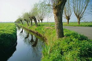 Pollarded willows beside dykes, drainage system, Somerset Levels, England  -  John Waters