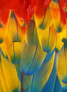 Scarlet Macaw feathers close up {Ara macao} Native South Mexico to Amazonia (Brazil). - Michael Durham