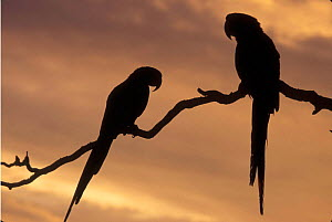 Scarlet macaw pair silhouetted in tree {Ara ararauna} occur Central-America and South-America. Captive - Michael Durham