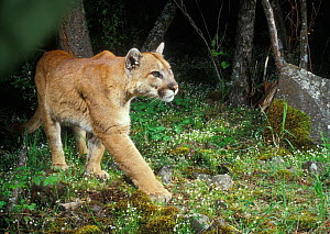 Wild Puma (Cougar, Mountain lion) photographed with motion sensing camera at night. Oregon USA - Michael Durham