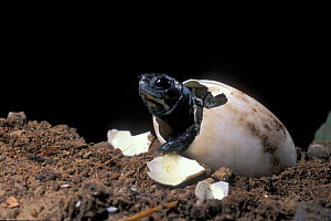 Pacific / Western pond turtle {Clemmys marmorata} egg hatching sequence, Washington USA. Temporarily captive/controlled conditions - Michael Durham