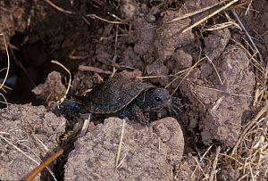 Pacific / Western pond turtle {Clemmys marmorata} newly hatched emerging from nest hole. Columbia River Gorge, Washington USA.. - Michael Durham