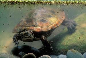 Pacific / Western pond turtle {Clemmys marmorata} adult swimming underwater. Columbia River Gorge, Washington USA. - Michael Durham