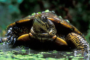 Pacific / Western pond turtle {Clemmys marmorata} adult. Columbia River Gorge, Washington USA. - Michael Durham
