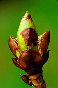 Horse chestnut tree sticky bud opening {Aesculus hippocastanum} England - Geoff Scott-Simpson