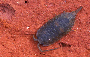 Beach woodlouse (sea slater) {Ligia oceanica} UK  -  Niall Benvie