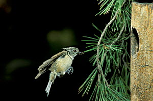 Crested tit flies to nest hole {Lophophanes cristatus} Spain - Jose B. Ruiz
